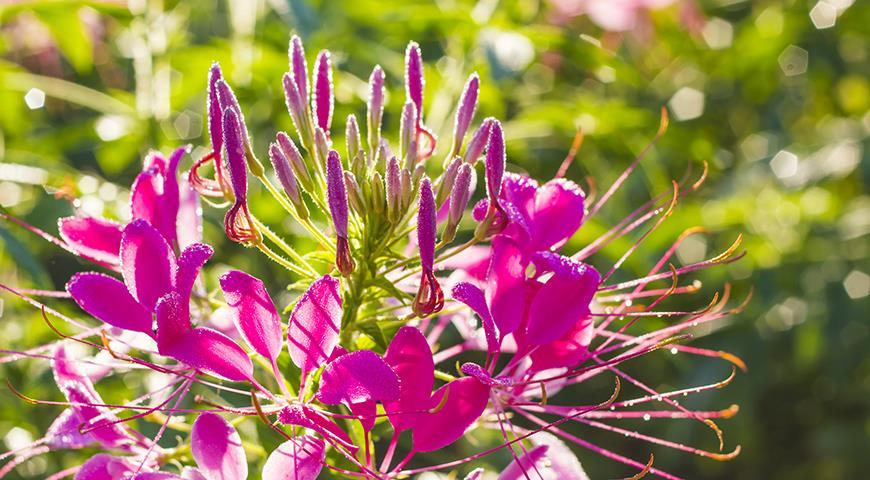 46201 Клеома - необычное растение паучок для вашего цветника: пора сеять под зиму