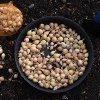 46224 Когда сажать лук и чеснок осенью по Лунному календарю 2021 года