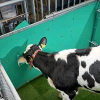 46477 Коров приучили «к горшку» ради борьбы с глобальным потеплением