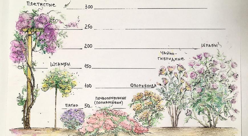 Осенний уход за розами: укрытие, обработка и обрезка