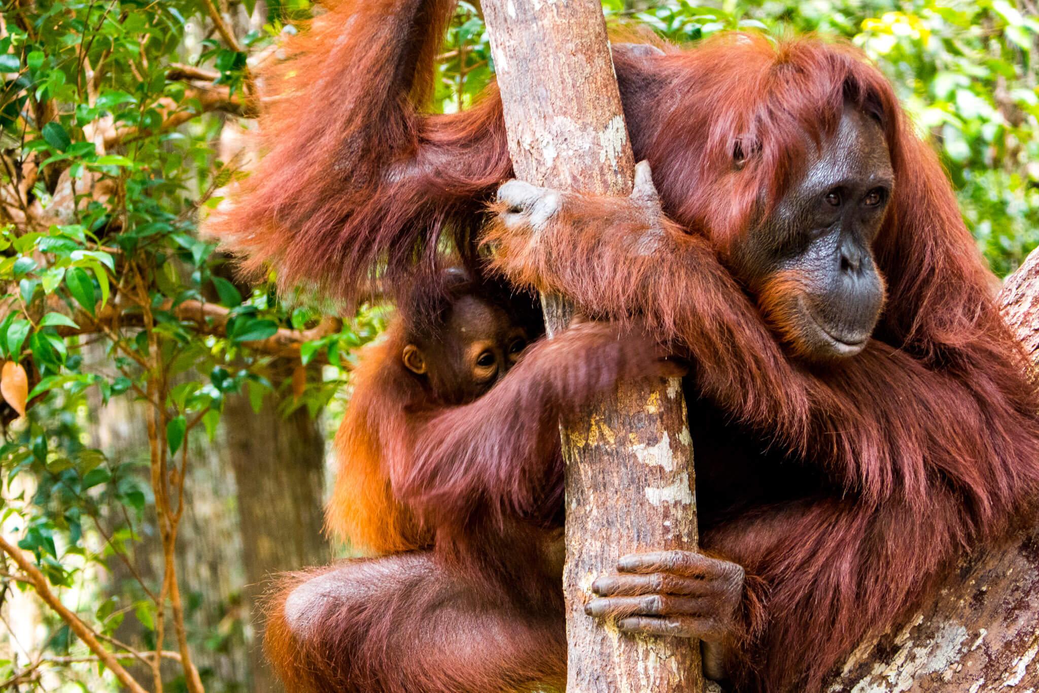 46727 При помощи сигналов орангутанов ученые показали, как мог развиваться человеческий язык