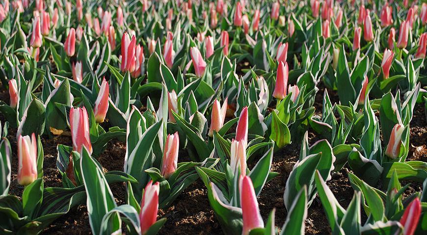 46658 Разнообразие ботанических тюльпанов: выбираем для посадки в саду