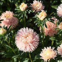 46174 Цветочный гороскоп на 12 - 22 сентября: ваш цветок - астра!