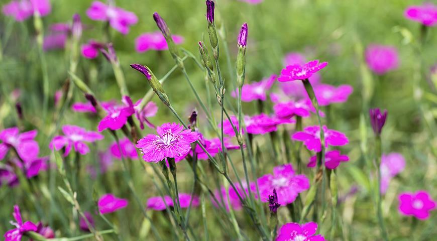 46019 Цветочный гороскоп на 3-11 сентября: ваш цветок гвоздика!