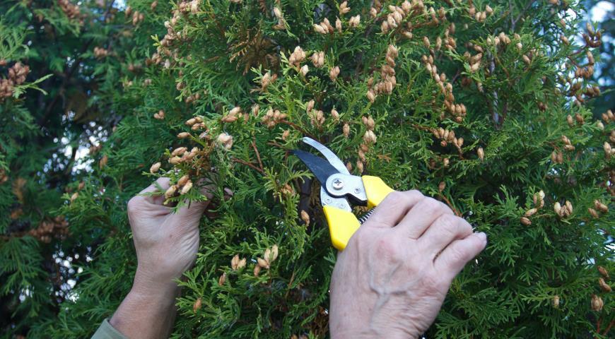 Выращивание туи посевом семян осенью: полный мастер-класс с фото