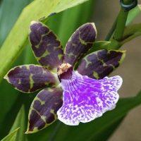 46664 Зигопеталум - фиолетовая орхидея для комнатного цветоводства: все особенности выращивания