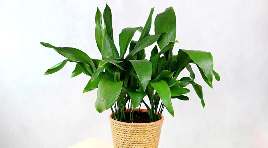 47007 Аспидистра, или дружная семейка - комнатное растение, популярное у флористов