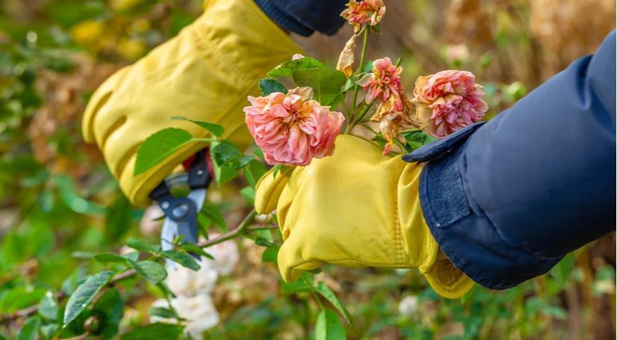 47084 Чем обработать розы осенью для защиты от болезней