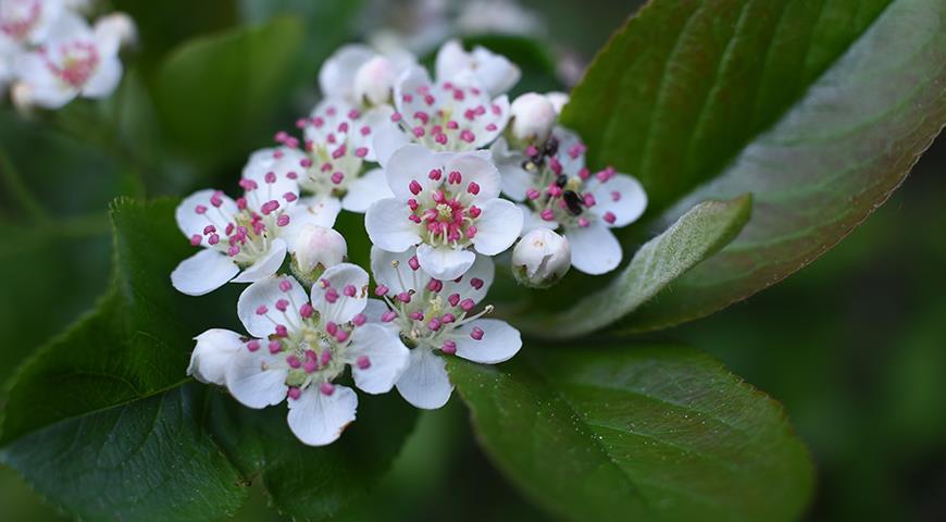 47096 Черноплодка, арония или черноплодная рябина - красива, полезна и абсолютно неприхотлива в культуре
