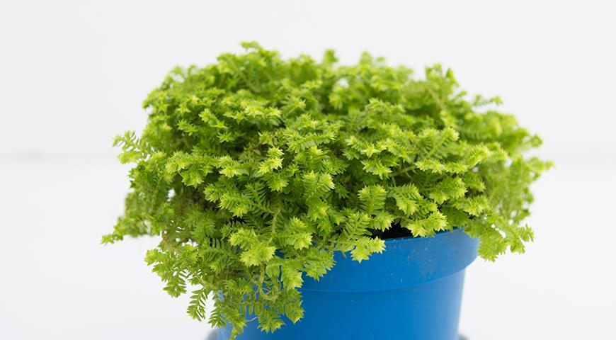 47110 Селагинелла, или воскресающее растение - чудо из мира растений, которое можно вырастить дома