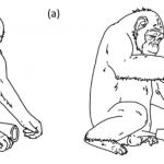 46783 Шимпанзе впервые застали за использованием орудий в половых целях