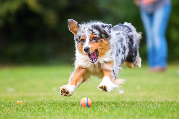 47098 У домашних собак выявили состояние, похожее на человеческое поведенческое расстройство