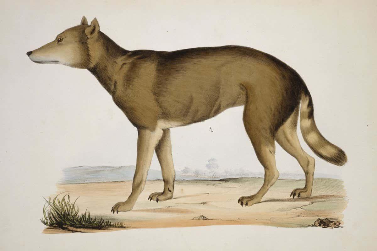 47246 Японского волка посчитали ближайшим родственником собак